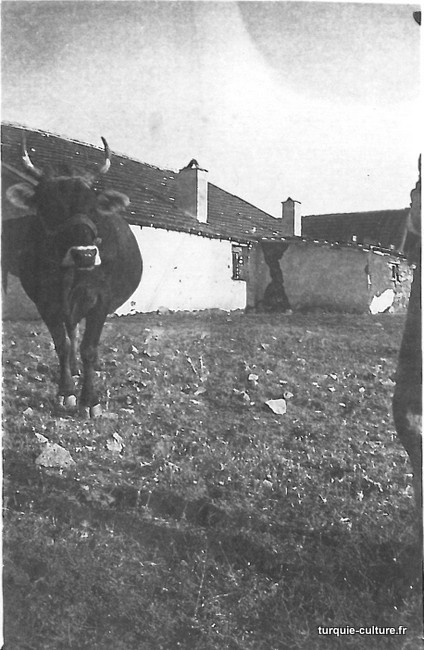 agriculture-vache.jpg
